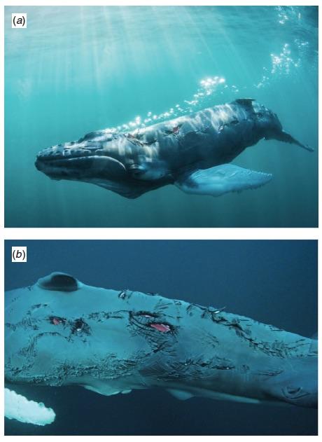 Dusky shark bites on a humpback whale calf. From Dicken et al. (2014).