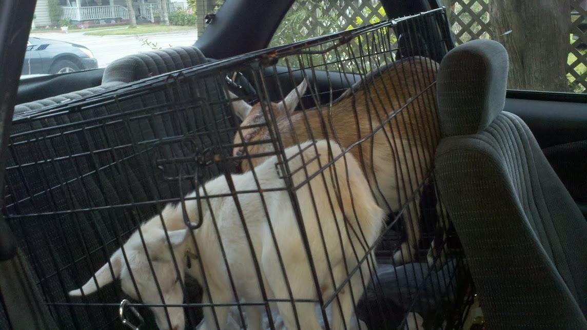 Goats in a car.